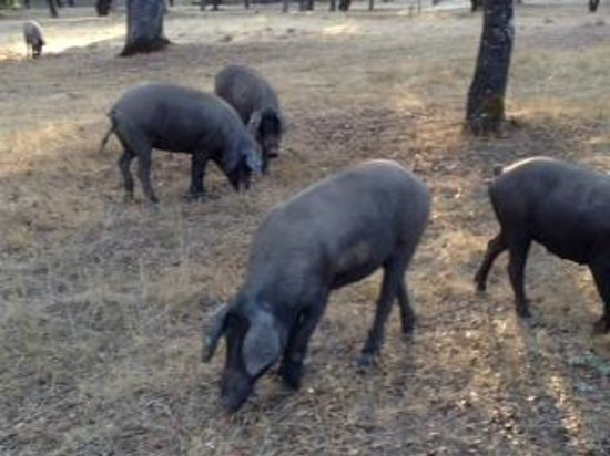 A Taste of Spain Culinary Tours - Andalusia :                   Iberico piggies close up in search of acorn