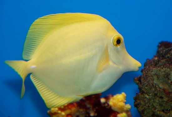 Yellow Tang - Foto di Lake District Coast Aquarium, Maryport ...
