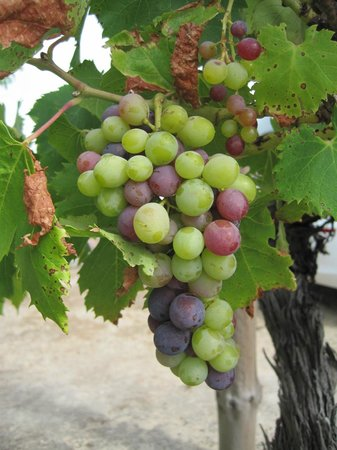 Klein Waterval Riverside Lodge:                   Grapes ripening