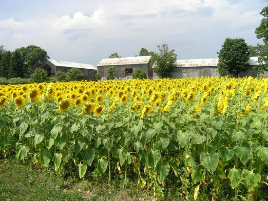 By Chadsey's Cairns Winery and Vineyard: sunflowers in front of the winery barn complex