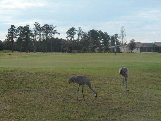 Hernando Oaks Golf and Country Club:                                                       Looking Back at hole #6 and familiar Crane