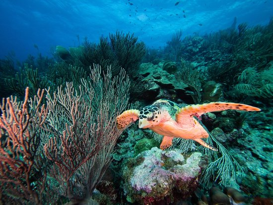Bonaire East Coast Diving:                   Turtle taking flight