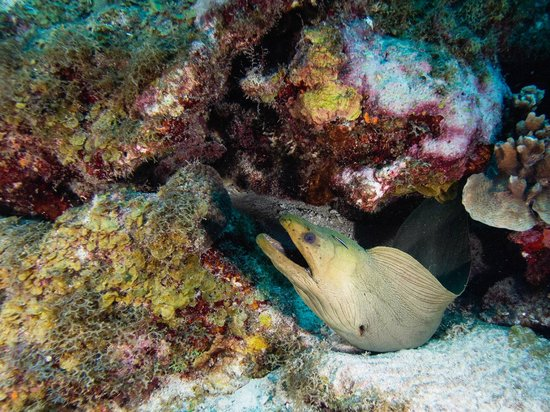 Bonaire East Coast Diving:                   Big Green Moray