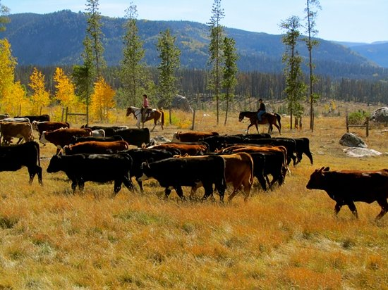 Vista Verde Guest Ranch: Cattle round up during September adult only stays