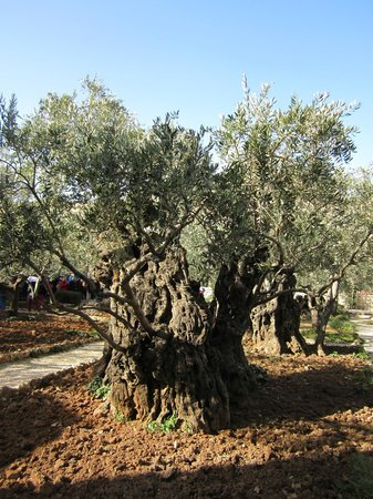 Church of All Nations (Basilica of the Agony): old olive tree in Garden of Gethsemane