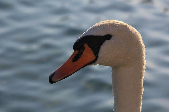 Beautiful Swan Isole di Brissago