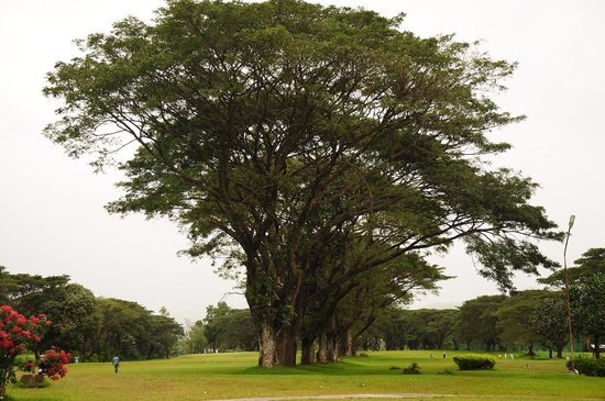 Ormoc, Philippines :                                                       Huge acacia tress towering over the golfer