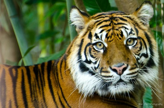 Dallas Zoo: Tiger