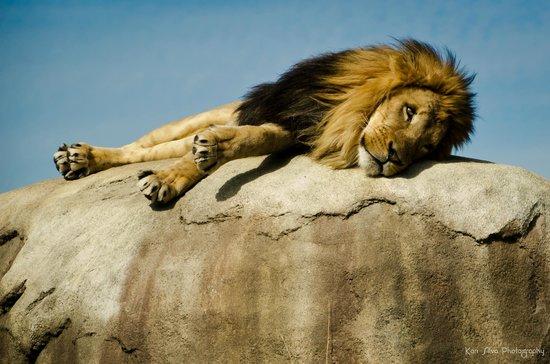 Dallas Zoo: Lion
