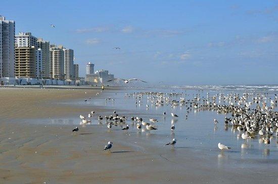 Daytona Beach Extended Stay Hotel:                   Sea Gulls in Daytona Beach