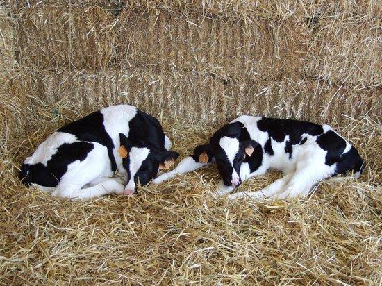 Lentate sul Seveso, Italy: i vitelli