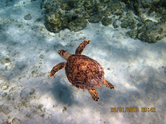 Grand Cayman Beach Suites:                   Turtle in front of Beach Suites