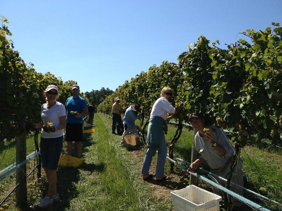 Cave Ridge Vineyard: Harvest Time