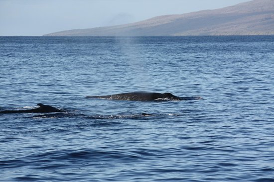 Pacific Whale Foundation: 3 humpbacks relaxing between Lahania, Maui and Lanai