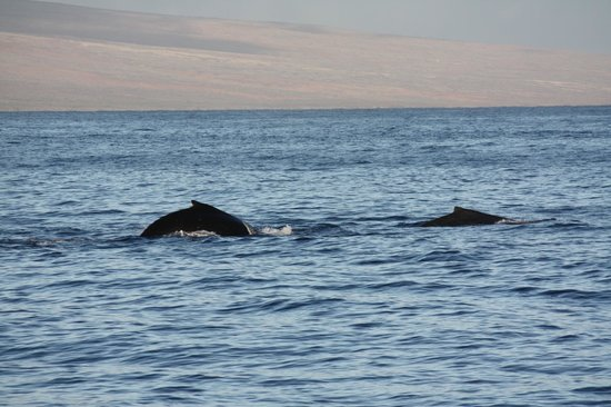 Pacific Whale Foundation: Humpbacks in Maui