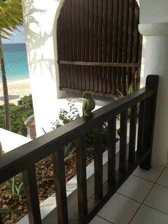 Belmond Cap Juluca:                   Parrot visiting our balcony each day