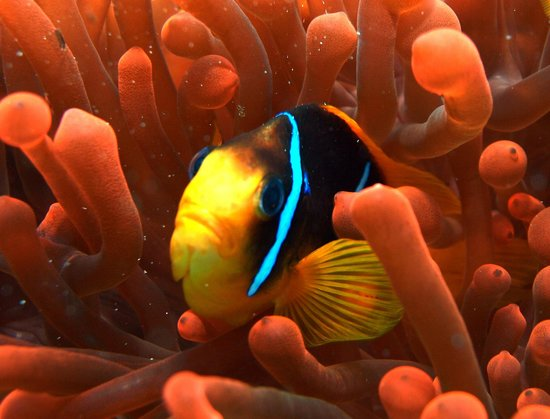 Blue Hole: Local reef resident - red anemon clownfish (my favorite :)
