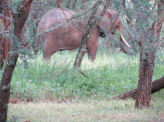 Tarangire Safari Lodge: Elephant behind the tent before breakfast