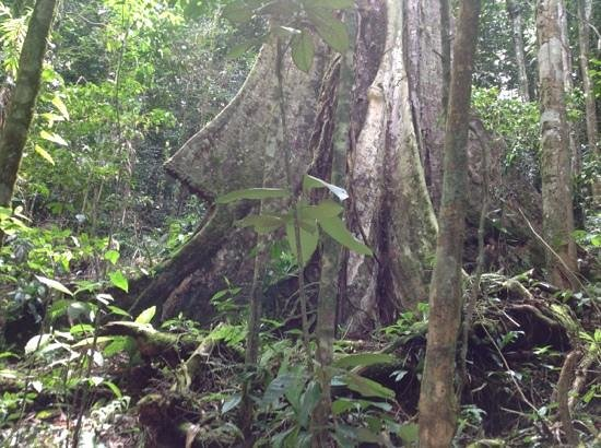 Rainforest Adventures:                   a rare tree with wide roots. it has the shape of a rocket!!!