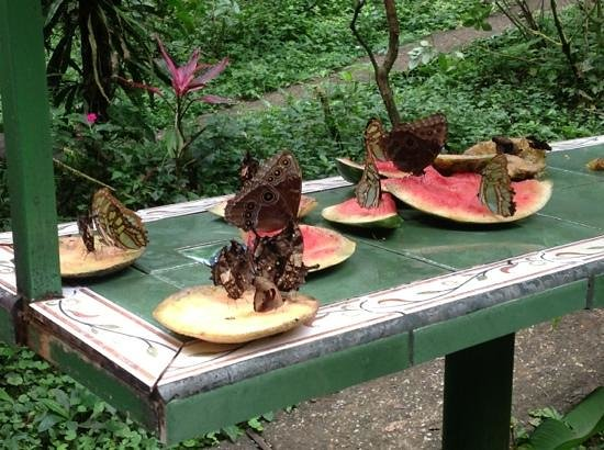 Rainforest Adventures:                   butterflies feeding off fruit.