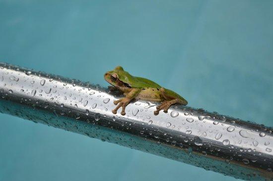 Villas Pico Bonito:                   frog in the pool!