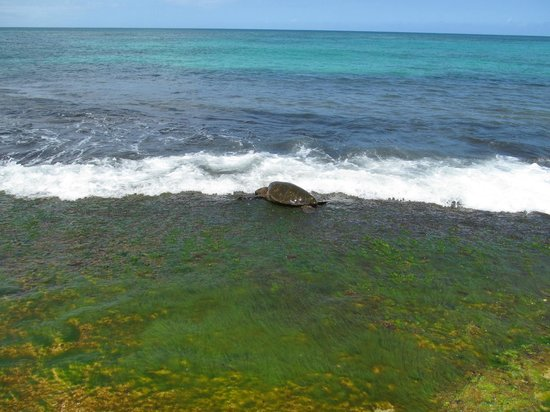 Turtle Bay Beach: Our snorkel buddy!