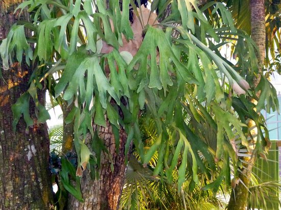 Nirvana on the Beach:                   Beautiful staghorn fern