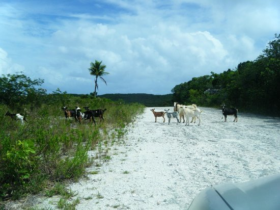 Pigeon Cay Beach Club:                   Goats in Road trying to find secret beach