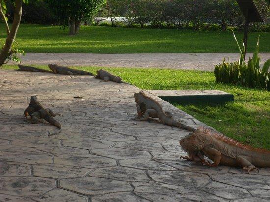 أليجرو كوزوميل ريزورت:                   Iguana's just hanging around                 