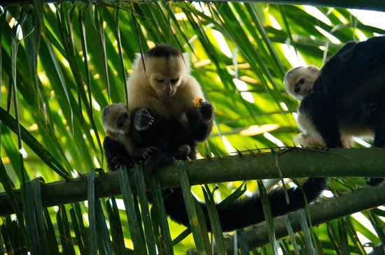 Bosque del Cabo Rainforest Lodge:                                     White-faced capuchins