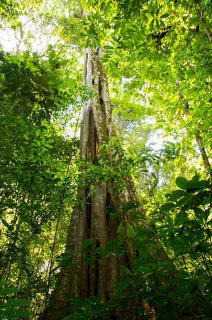 Bosque del Cabo Rainforest Lodge:                                     Strangler fig or matapalo