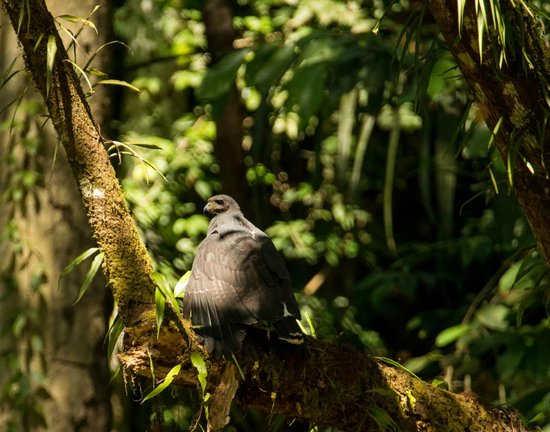 Bosque del Cabo Rainforest Lodge:                                     black hawk