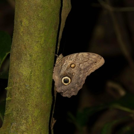 Bosque del Cabo Rainforest Lodge:                                     caligo