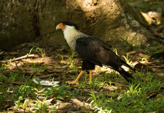 Bosque del Cabo Rainforest Lodge:                                     crested caracara