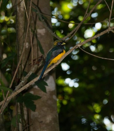 Bosque del Cabo Rainforest Lodge:                                     Black-throated trogon