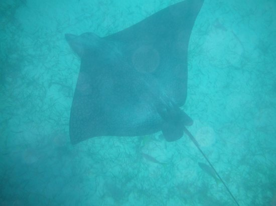 Reef Residences on Grace Bay: an eagle ray right off our beach