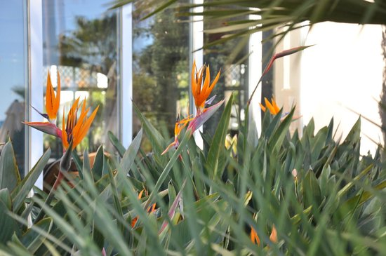 Marriott's Playa Andaluza: Birds of Paradise flowers all over the place