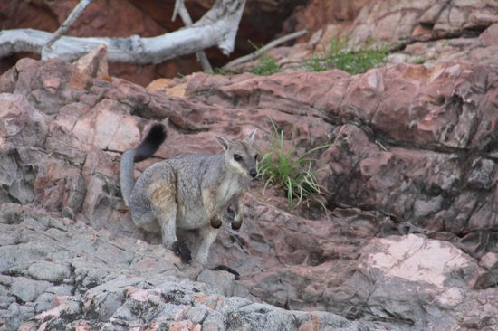 Lake Argyle Cruises:                   Short-eared rock wallaby