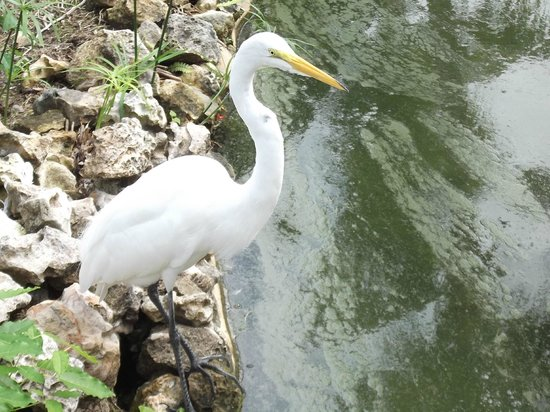 Catalonia Bavaro Beach, Casino & Golf Resort:                                     Family of the White Heron Birds enjoying the shores
