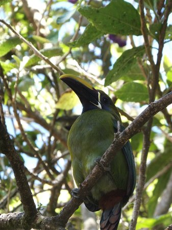 Camino Verde Bed & Breakfast Monteverde:                   A green toucan near Monte Verde