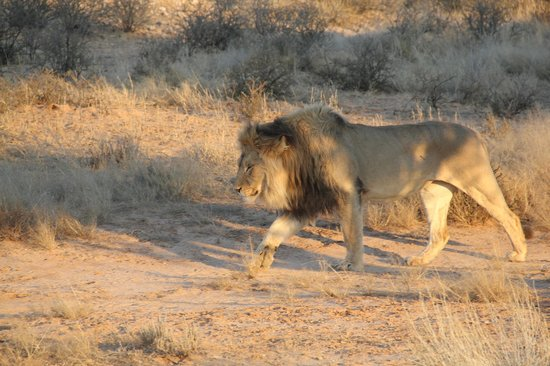 ‪‪Upington‬, جنوب أفريقيا: Lion in Kgalagadi Transfrontier Nationalpark on a Tour‬