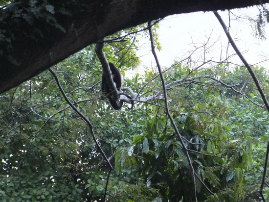 Casa Buena Vista B & B:                   A Howler monkey just after dawn