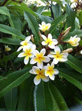 Aqualuna Beach Resort:                   beautiful frangipani flowers are everywhere in the resort