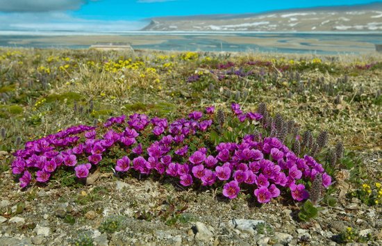 Arctic Watch Lodge: view from Arctic Watch, Arctic Saxifrage flowers