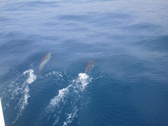 Fair Wind Big Island Ocean Guides:                   Spotted Dolphins