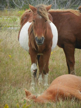 Assateague Island National Seashore:                   Nap Time