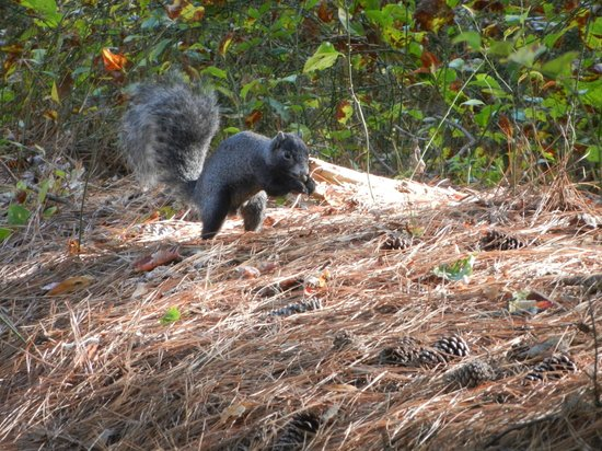 Assateague Island National Seashore:                   Delmarva Fox Squirrel on VA side