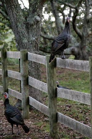 Menemsha Inn and Cottages:                   Wild turkeys on the grounds of the Inn