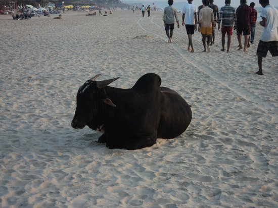 Baga Beach :                                     resting in the afternoon sun