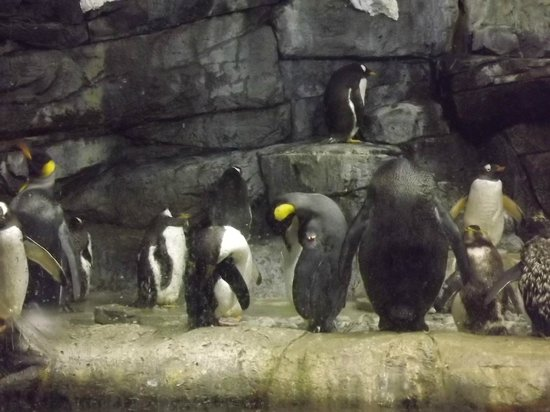 Newport Aquarium:                   penguins